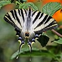 Iphiclides sp.