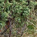 Juniperus communis alpina