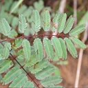 Mimosa sp. 5