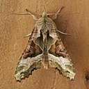 Moths (Heterocera)