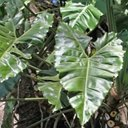 Philodendron sp. 1