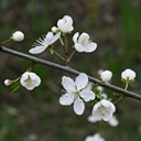 Prunus spinosa