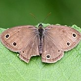 Insects - Butterflies: Nymphalidae