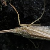 Insects - Caddisflies
