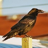 Birds Passeriformes - Corvidae (Crows, Jays)