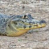 Vertebrates, others - Crocodylia