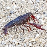Invertebrates, others - Crustaceans