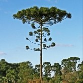 Plants, others - Gymnosperms