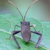 Insects - Hemiptera (True bugs)
