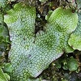 Plants, others - Hepatics (Liverworts)