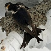 Birds Passeriformes - Hirundinidae (Swallows, Martins)