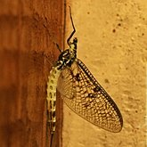 Insects - Mayflies