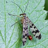 Insects - Mecopterans