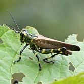 Insects - Orthopterans