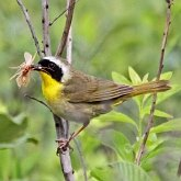 Birds Passeriformes - Parulidae (New World Warblers)