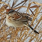Birds Passeriformes - Passerellidae (New World Sparrows and allies)