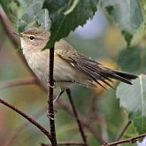 Birds Passeriformes - Phylloscopidae (Leaf Warblers and allies)