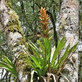 Angiosperms Monocots - Poales: Bromeliads