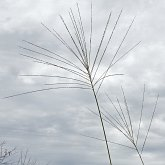 Angiosperms Monocots - Poales: Grasses