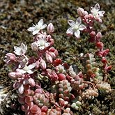 Angiosperms Eudicots  - Saxifragales