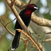 Birds Passeriformes - Thraupidae (Tanagers and allies)