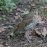 Birds Passeriformes - Turdidae (Thrushes)